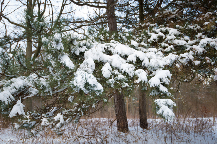 Pine branches heavy with snow in High Park Toronto