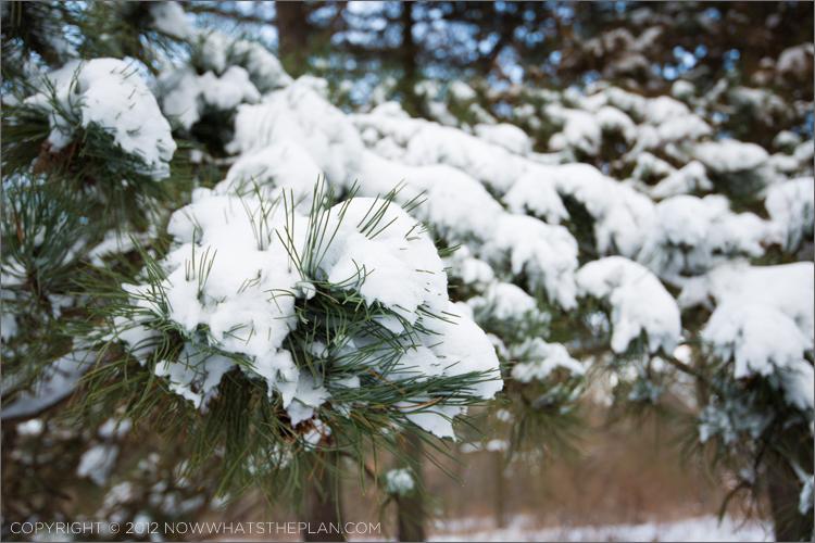 Pine needles piercing through the blanket of snow in High Park Toronto