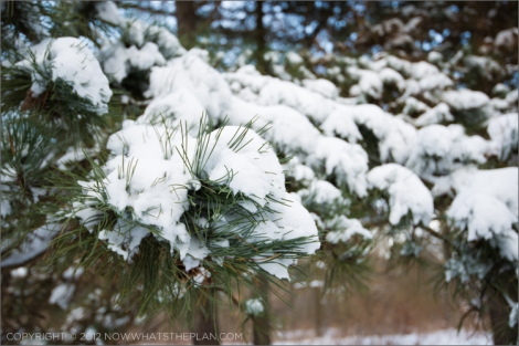 Pine needles piercing through the blanket of snow in High Park Toronto